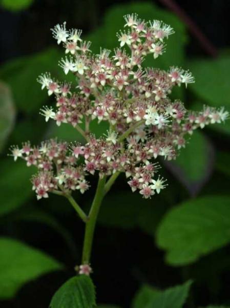 Rodgersia sambucifolia / Holunderblättriges Schaublatt
