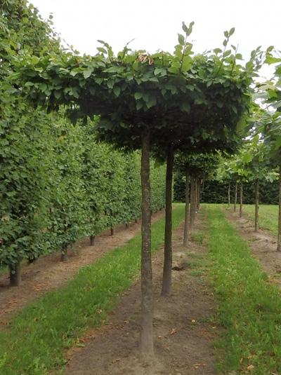 Carpinus betulus / Dachform / Dachspalier / Hainbuche / Weißbuche