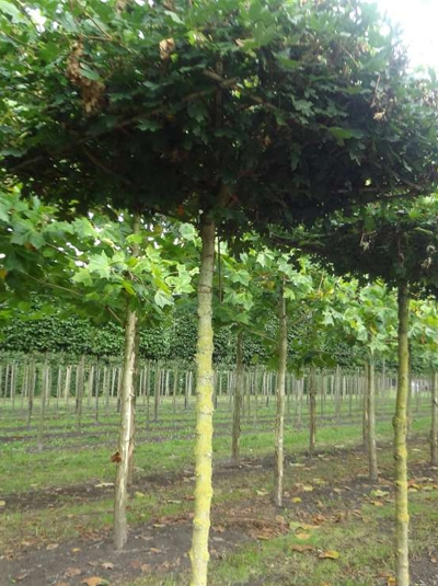 Acer campestre 'Elsrijk'  / Dachform/ Dachspalier / Feld-Ahorn 'Elsrijk'