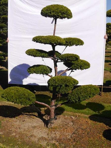 Taxus baccata 'Semperaurea' H: 210 cm B: 160 cm / Garten-Bonsai (0138)