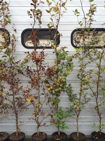 Carpinus betulus / Hainbuche 150-175 cm im 5-Liter Container