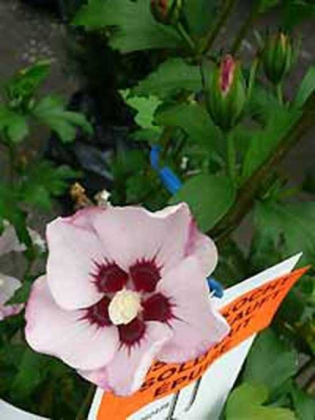 Hibiscus syriacus 'Mathilda' / Garten-Eibisch 'Mathilda' / Strauch-Eibisch 'Mathilda'