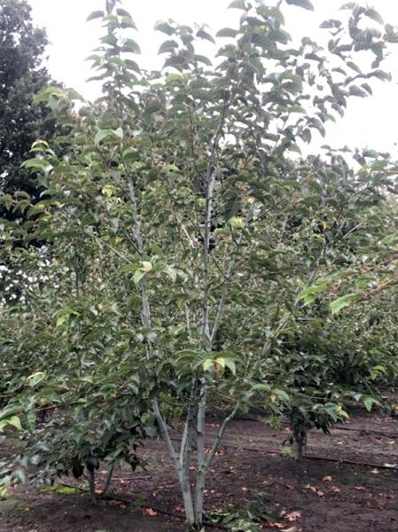 Acer davidii / Davids Schlangenhaut-Ahorn / Davids-Ahorn / Chinesische Ahorn