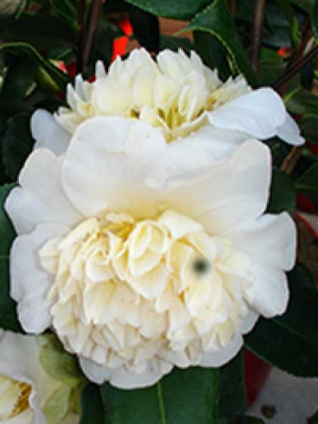 Camellia williamsii 'Jury's Yellow' / Kamelie 'Jury's Yellow'