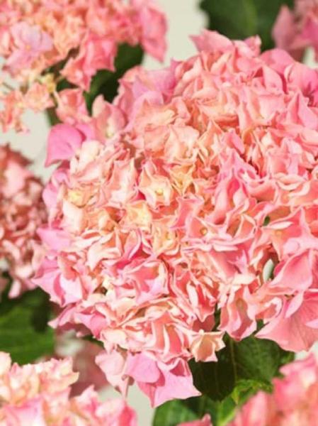 Hydrangea macrophylla 'Pink Dream' / Bauern-Hortensie 'Pink Dream'