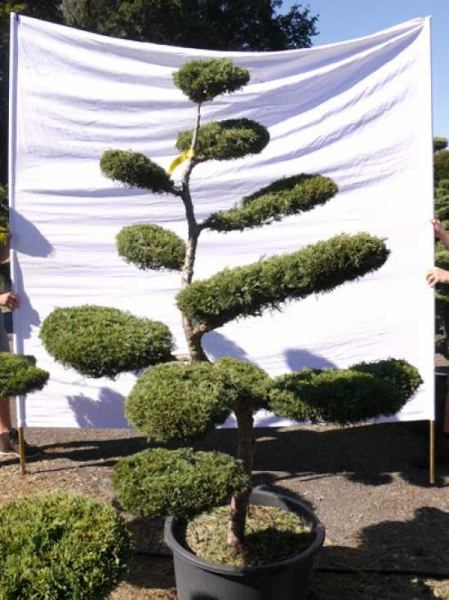 Juniperus media 'Hetzii' H: 190 cm B: 150 cm / Garten-Bonsai (301506)