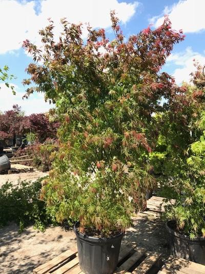 Acer palmatum 'Kinran' / Fächerahorn 'Kinran'