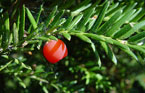 taxus_baccata1_kl