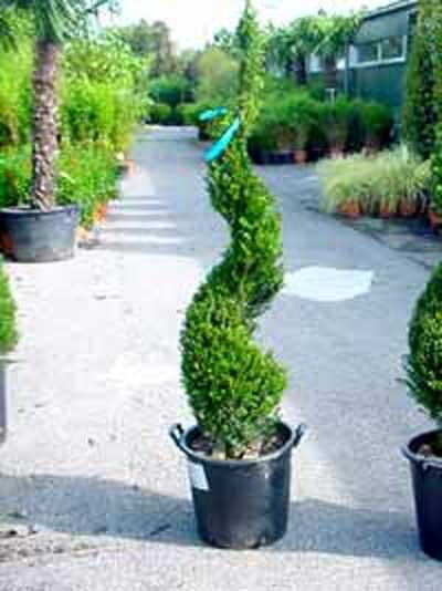 Taxus baccata 'Spirale' / heimische Eibe 'Spirale'