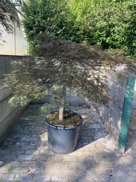 Acer palmatum 'Dissectum Garnet' auf Stamm / Dunkelroter Schlitz-Ahorn / Japanischer Ahorn Kronenbreite 150-175 (Nr.335)