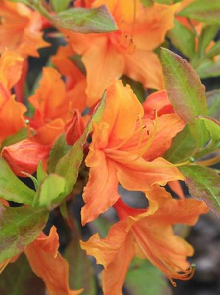 Azalea austrinum 'Stonewall Jackson' / Laubabwerfende Azalee 'Stonewall Jackson'