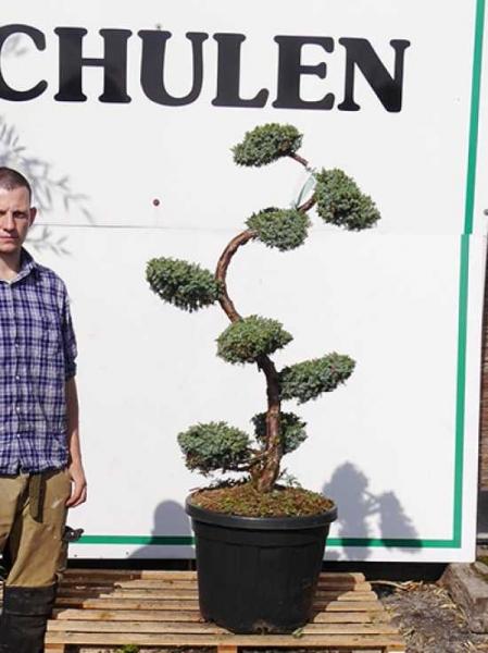 Juniperus chinensis 'Blue Alps' H: 100-125 cm / Garten-Bonsai (2506)