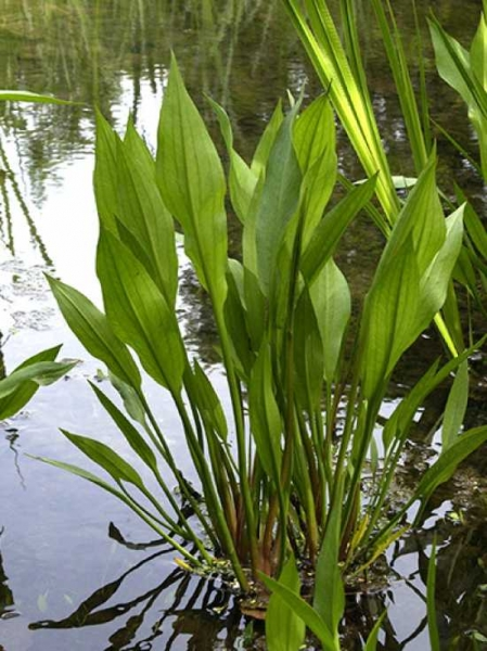 Alisma plantago-aquatica / Breitblättriger Froschlöffel / Gemeiner Froschlöffel