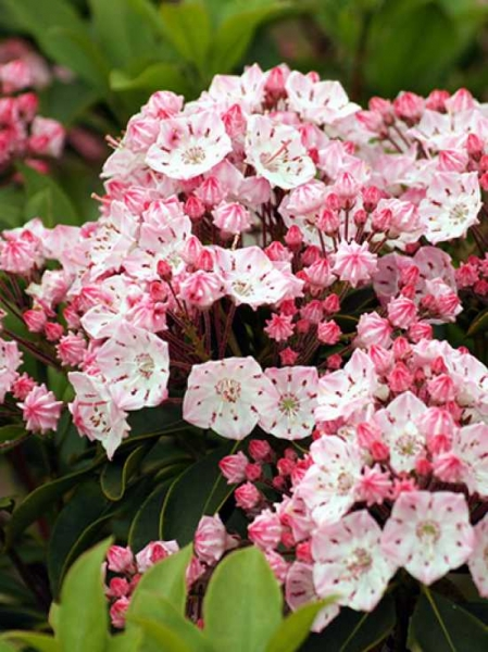 Kalmia latifolia 'Splendens' / Lorbeerrose 'Splendens' / Berglorbeer 'Splendens'