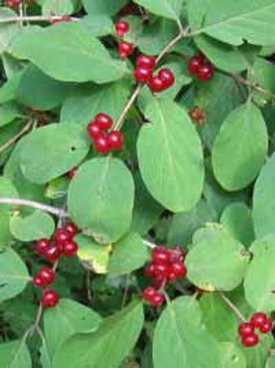 Lonicera xylosteum / Gewöhnliche Heckenkirsche / Rote Heckenkirsche / Beinholz
