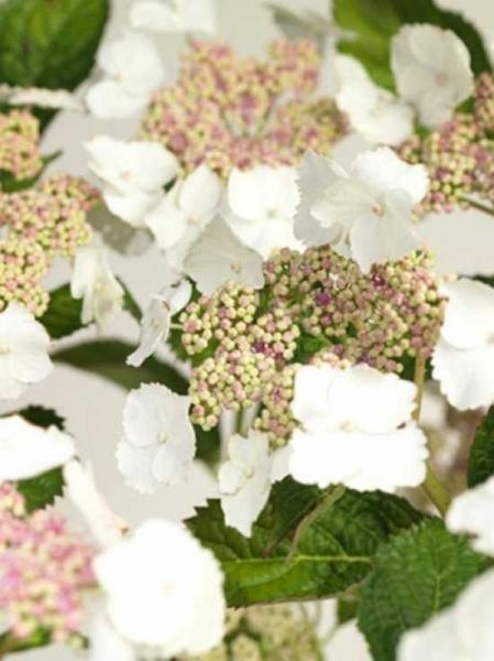 Hydrangea macrophylla 'Tokyo Delight' / Teller-Hortensie 'Tokyo Delight'