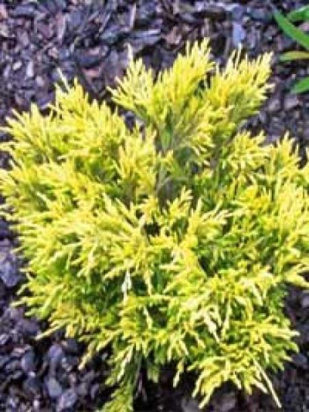 Juniperus horizontalis 'Limeglow' / Teppich-Wacholder 'Limeglow'