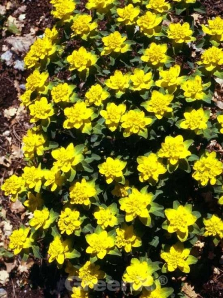 Euphorbia polychroma 'Senior' / Gold-Wolfsmilch 'Senior'