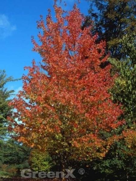 Acer rubrum  / Rot-Ahorn / Scharlach-Ahorn / Sumpf-Ahorn