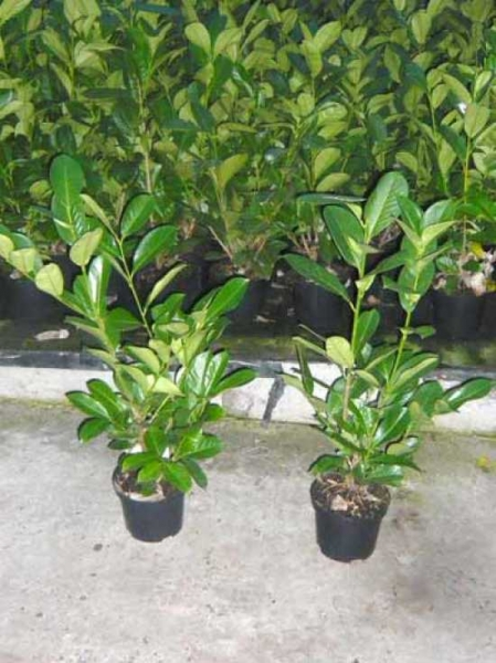 Prunus laurocerasus 'Rotundifolia' / Kirschlorbeer 'Rotundifolia' 60-80 cm im 3-Liter Container