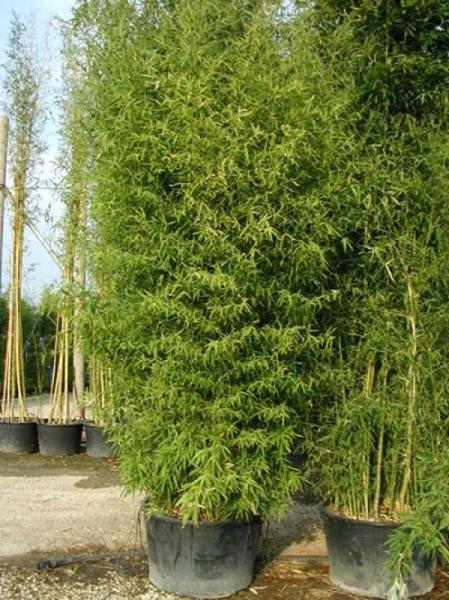 Phyllostachys aurea / Knoten-Bambus 500-600 cm im 150-Liter Container