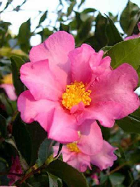 Camellia sasanqua 'Cleopatra' / Herbst-Kamelie 'Cleopatra'