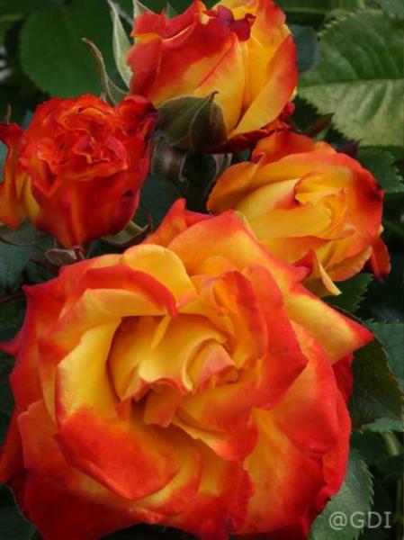 Rosa 'Rumba ®' / Stammrose 'Rumba'