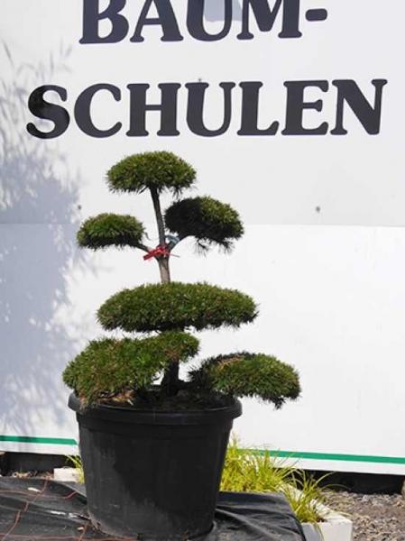 Pinus mugo H: 60-80 cm / Garten-Bonsai (1026)