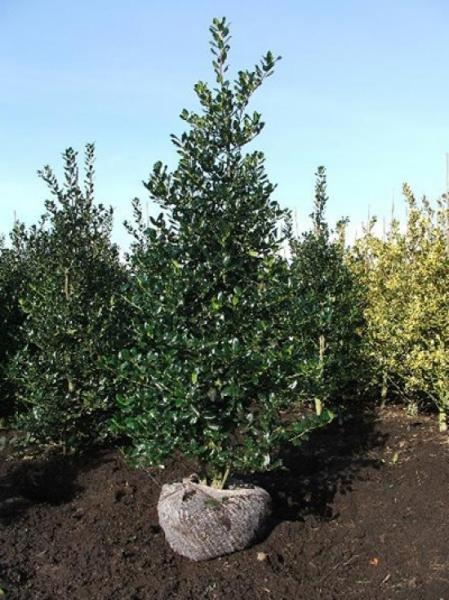 Ilex aquifolium 'Alaska' / Stechpalme 'Alaska' 200-250 cm Solitär mit Drahtballierung