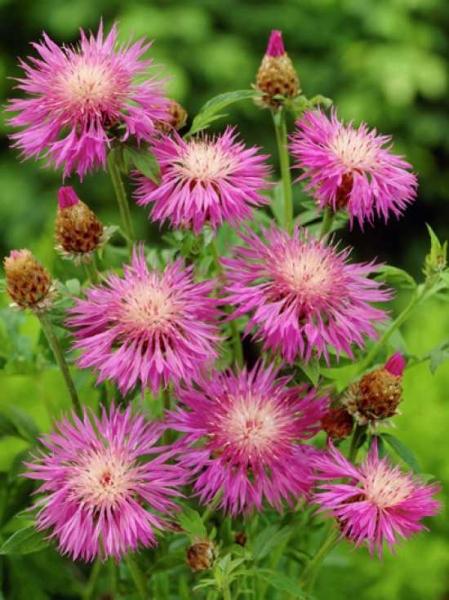 Centaurea dealbata / Kornblume / Flockenblume