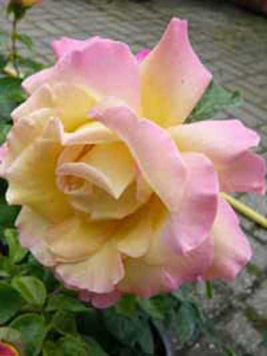 rosa 39 gloria dei 39 edelrose 39 gloria dei 39 g nstig kaufen. Black Bedroom Furniture Sets. Home Design Ideas