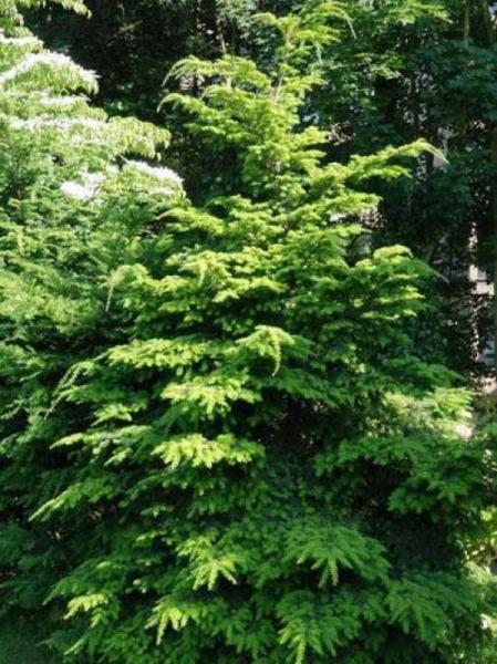 Tsuga diversifolia / Japanische Hemlocktanne