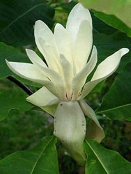 Magnolia tripetala / Magnolia umbrella / Schirm-Magnolia