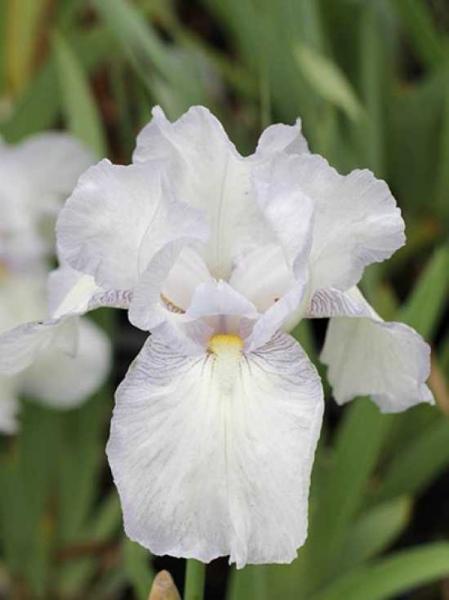 Iris barbata-elatior 'English Cottage' / Hohe Bart-Iris