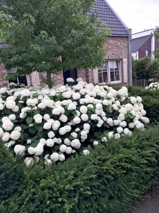 hydrangea arborescens 39 incrediball 39 39 strong annabelle 39 schneeball hortensie 39 incrediball. Black Bedroom Furniture Sets. Home Design Ideas