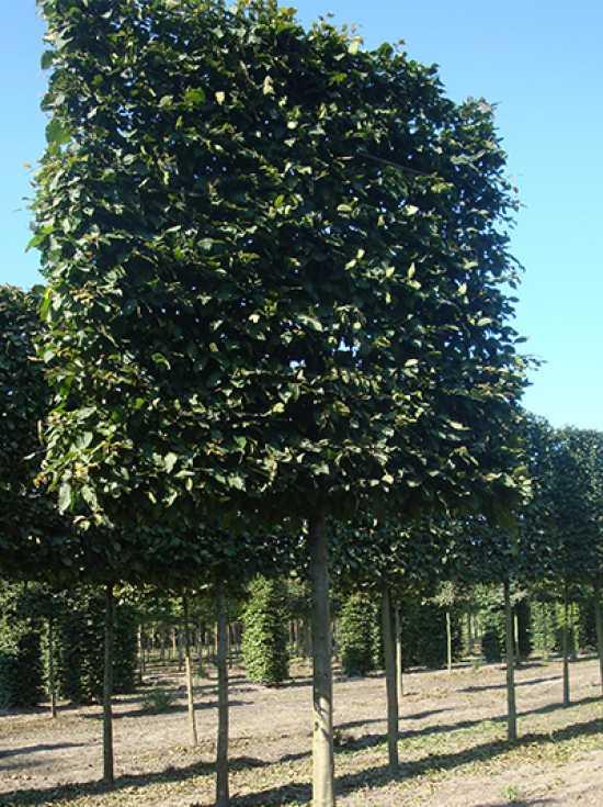carpinus betulus hainbuche wei buche 39 hochstamm spalier 39 h 160 b 160 t 20 stamm 210 cm. Black Bedroom Furniture Sets. Home Design Ideas
