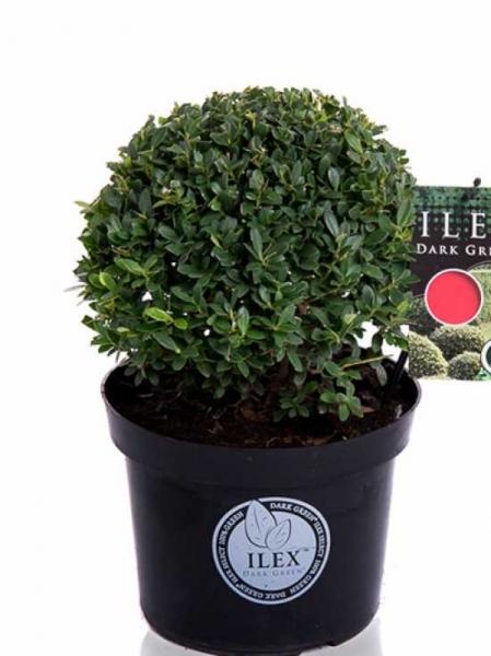 Ilex crenata 'Dark Green' Kugel / Buchsblättrige Japanische Hülse 'Dark Green' Kugel 25-30 cm im 5-Liter Container