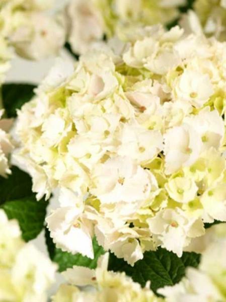 Hydrangea macrophylla 'Hovaria Hopaline'® / Bauern-Hortensie 'Hovaria Hopaline'®