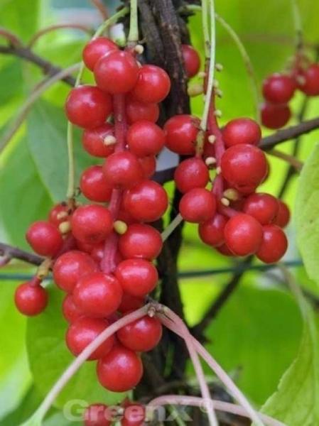 Schisandra chinensis / Chinesische Vitalbeere / Chinesische Beerentraube / Chinesischer Limonenbaum