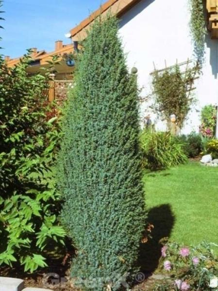 juniperus communis 39 hibernica 39 irischer s ulen wacholder g nstig kaufen. Black Bedroom Furniture Sets. Home Design Ideas