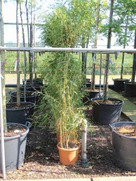 Phyllostachys aureosulcata 'Spectabilis' / Flachrohr-Bambus 125-150 cm im 10-Liter Container