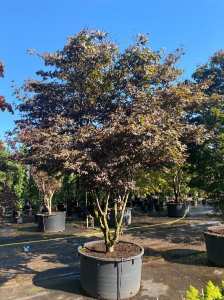 Acer palmatum 'Atropurpureum' Schirm 250-300cm breit x 350-400cm hoch / Roter Fächerahorn (Nr.66)