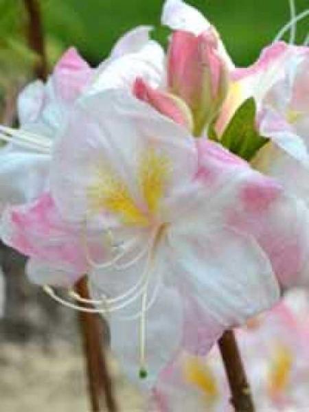 Azalea luteum 'Satomi' (Knap-Hill) / Laubabwerfende Azalee 'Satomi'