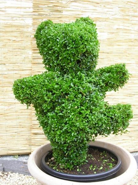 Buxus sempervirens 'Tanzbär' / Buchsbaum 'Tanzbär' mit Ballierung