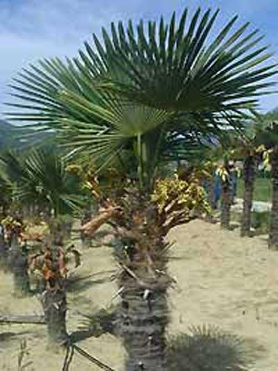 trachycarpus fortunei chinesische hanfpalme g nstig kaufen. Black Bedroom Furniture Sets. Home Design Ideas