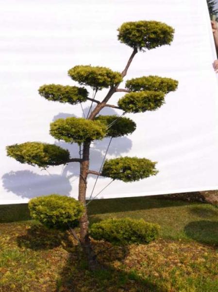 Taxus baccata 'Semperaurea' H: 80 cm B: 130 cm / Garten-Bonsai (0041)