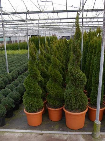 Thuja occidentalis Smaragd 'Spirale' / Lebensbaum Smaragd 'Spirale'
