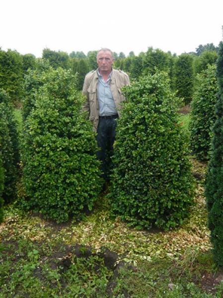 Buxus Rotundifolia / Großblättriger Buchsbaum 150-175 cm Solitär mit Ballierung