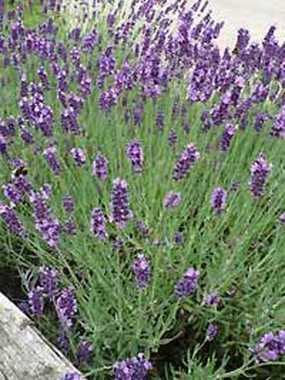lavandula angustifolia 39 hidcote blue 39 echter lavendel g nstig kaufen. Black Bedroom Furniture Sets. Home Design Ideas