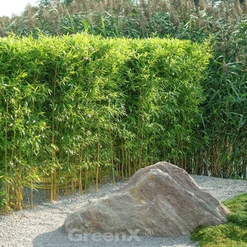 Bambus Phyllostachys A Aureocaulis Goldener Peking Bambus